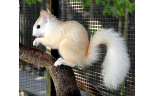 Eichhörnchen (cremefarben)