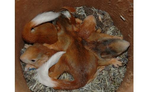 junge Eichhörnchen in einer Naturstamm - Nisthöhle