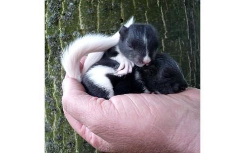 junge Eichhörnchen (Mutation schwarz-weiß-gescheckt)