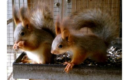 junge sibirische Hörnchen