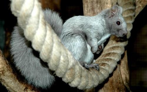 Eichhörnchen Mutation silber-grau