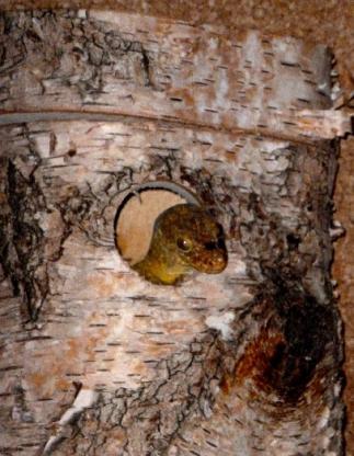Nisthöhle für kleine Geckos