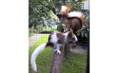 Eichhörnchen (Mutation rot-weiß-gescheckt)