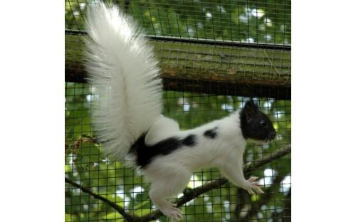 Eichhörnchen Mutation schwarz-weiß-gescheckt